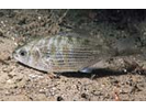 Shiner Perch - Surfperch<br>(<i>Cymatogaster aggregata</i>)