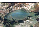 Striped Seaperch - Surfperch<br>(<i>Embiotoca lateralis</i>)