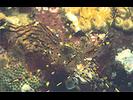 Coonstripe Shrimp - Arthropods<br>(<i>Pandalus danae / gurneyi</i>)