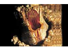 Giant Barnacle - Arthropods<br>(<i>Balanus nubilus</i>)