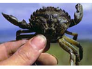 Green Crab - Arthropods<br>(<i>Carcinus maenas</i>)