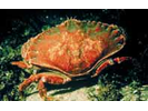 Red Rock Crab - Arthropods<br>(<i>Cancer productus</i>)
