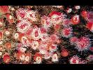 Strawberry Anemone - Cnidarians<br>(<i>Corynactis californica</i>)