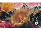 Orange Cup Coral - Cnidarians<br>(<i>Balanophyllia elegans</i>)