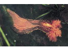 Orange Sea Cucumber - Echinoderms<br>(<i>Cucumaria miniata</i>)