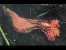 Orange Sea Cucumber - Echinoderms<br>(<i>Cucumaria miniata</i>)