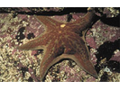 Leather Star - Echinoderms<br>(<i>Dermasterias imbricata</i>)