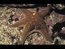 Leather Star - Echinoderms<br>(<i>Dermasterias imbricata</i>)