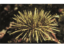 Green Sea Urchin - Echinoderms<br>(<i>Strongylocentrotus droebachiensis</i>)