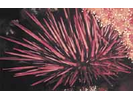 Red Sea Urchin - Echinoderms<br>(<i>Mesocentrotus franciscanus</i>)