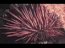 Red Sea Urchin - Echinoderms<br>(<i>Mesocentrotus franciscanus</i>)