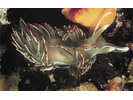 Opalescent Nudibranch - Mollusks<br>(<i>Hermissenda crassicornis / opalescens</i>)