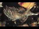 Opalescent Nudibranch - Mollusks<br>(<i>Hermissenda crassicornis / opalescens</i>)