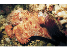 Giant Pacific Octopus - Mollusks<br>(<i>Enteroctopus dofleini</i>)