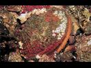 Rock Scallop - Mollusks<br>(<i>Crassadoma gigantea</i>)