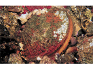 Rock Scallop - Mollusks<br>(<i>Crassadoma gigantea</i>)