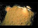 Chimney Sponge - Poriferans<br>(<i>Rhabdocalyptus dawsoni/Staurocalyptus dowlingi</i>)