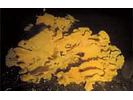 Cloud/Goblet Sponge - Poriferans<br>(<i>Aphrocallistes vastus / Heterochone calyx</i>)