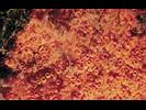 Orange Social Ascidian - Urochordates<br>(<i>Metandrocarpa taylori</i>)