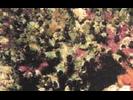 Fringed Tube Worm - Annelids<br>(<i>Dodecaceria fewkesi</i>)
