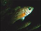 Juvenile (YOY) Rockfish - Unidentified - Scorpionfish<br>(<i>Sebastes sp.</i>)