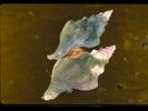 Kellet's Whelk - Mollusks<br>(<i>Kelletia kelletii</i>)