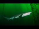 Sevengill Shark - Cow Shark<br>(<i>Notorynchus cepedianus</i>)