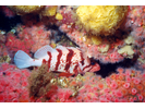 Tiger Rockfish - Scorpionfish<br>(<i>Sebastes nigrocinctus</i>)