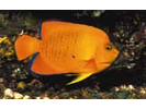 Clarion Angelfish - Angelfish - Ángel<br>(<i>Holacanthus clarionensis</i>)