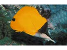 Forcepsfish - Butterflyfish - Pez Mariposa<br>(<i>Forcipiger flavissimus</i>)
