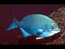 Cortez Sea Chub - Chub - Chopa<br>(<i>Kyphosus elegans</i>)