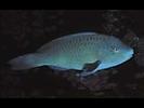 Azure Parrotfish - Parrotfish - Loro<br>(<i>Scarus compressus</i>)