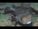 Porcupinefish - Porcupinefish<br>(<i>Diodon hystrix</i>)