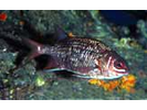 Tinsel Squirrelfish - Squirrelfish - Candil<br>(<i>Sargocentron suborbitalis</i>)