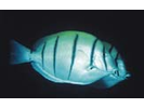 Convict Surgeonfish - Surgeonfish - Cirujano<br>(<i>Acanthurus triostegus</i>)