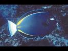 Goldrim Surgeonfish - Surgeonfish - Cirujano<br>(<i>Acanthurus nigricans</i>)