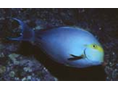 Yellowfin Surgeonfish - Surgeonfish - Cirujano<br>(<i>Acanthurus xanthopterus</i>)