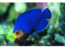 Cherubfish - Angelfish<br>(<i>Centropyge argi</i>)