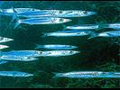 Northern/Southern Sennet - Barracuda<br>(<i>Sphyraena borealis/picudilla</i>)