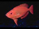 Bigeye - Bigeye<br>(<i>Priacanthus arenatus</i>)