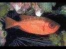 Glasseye Snapper - Bigeye<br>(<i>Heteropriacanthus cruentatus</i>)