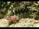 Rosy Blenny - Blenny - Labrisomids<br>(<i>Malacoctenus macropus</i>)