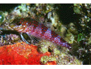 Saddled Blenny - Blenny - Labrisomids<br>(<i>Malacoctenus triangulatus</i>)