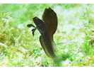 Sailfin Blenny - Blenny - Pike, tube, and flag<br>(<i>Emblemaria pandionis</i>)