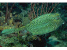 Honeycomb Cowfish - Boxfish<br>(<i>Acanthostracion polygonius</i>)