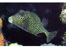 Spotted Trunkfish - Boxfish<br>(<i>Lactophrys bicaudalis</i>)