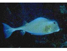 Trunkfish - Boxfish<br>(<i>Lactophrys trigonus</i>)