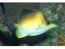 Longsnout Butterflyfish - Butterflyfish<br>(<i>Chaetodon aculeatus</i>)