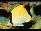 Reef Butterflyfish - Butterflyfish<br>(<i>Chaetodon sedentarius</i>)
