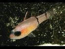 Barred Cardinalfish - Cardinalfish<br>(<i>Apogon binotatus</i>)